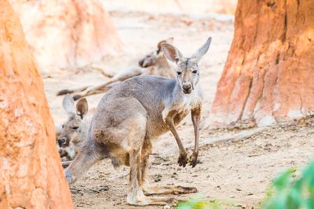 skippy: Red kangaroo in Thai, Thailand Stock Photo