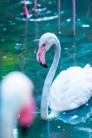 greater: Portrait of Greater Flamingo Bird in Thai, Thailand