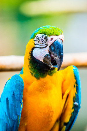 maccaw: Blue and Gold Macaw on the branch in Thailand Stock Photo