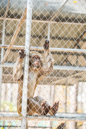 macaque: Rhesus Macaque in Cage for Conservation, Thailand Stock Photo