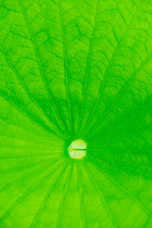 lotus leaf: Texture of Lotus Leaf, Thailand Stock Photo