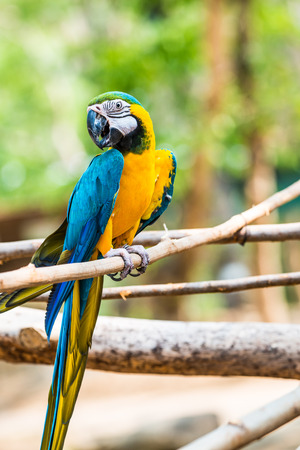 mccaw: Blue and Gold Macaw on the branch in Thailand Stock Photo