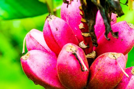 musa: Banana fruit of Musa velutina Wendl and Drude, Thailand.
