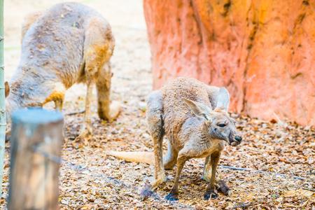 animal pouch: Red kangaroo in Thai, Thailand Stock Photo