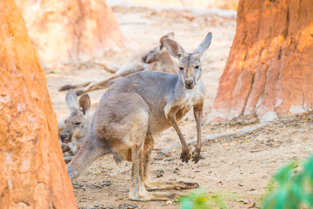 Red kangaroo in Thai, Thailand Stock Photo