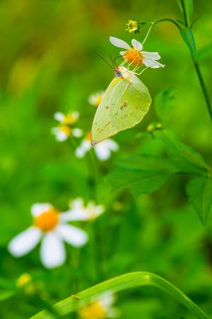 green butterfly: Green butterfly on flower in garden, Thailand Stock Photo