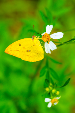 yellow butterfly: Yellow butterfly on flower in garden, Thailand Stock Photo