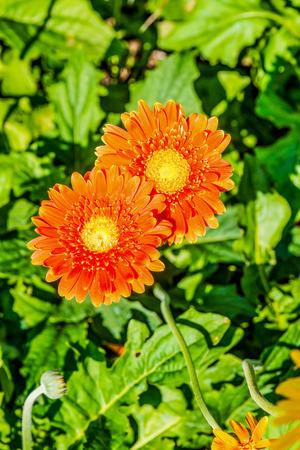 orange gerbera: Orange Gerbera in Park, Thailand