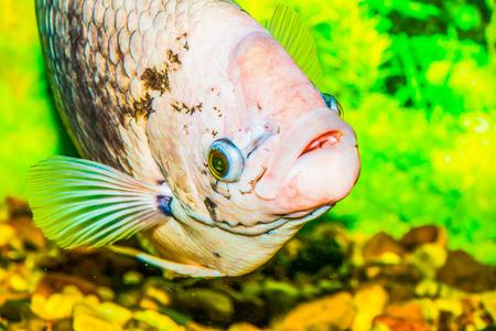 aquaria: Giant gourami fish, Thailand