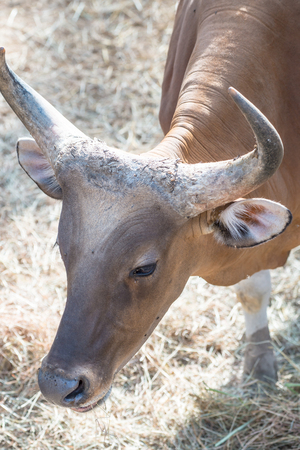 Head Shot of Banteng, Thailand