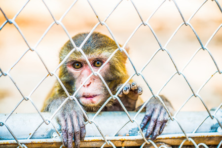 imprison: Pigtail Macaque monkey in cage for conservation Stock Photo