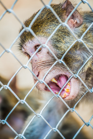 detain: Pigtail Macaque monkey in cage for conservation Stock Photo