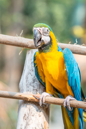 Blue and Gold Macaw on the branch in Thailand Stock Photo