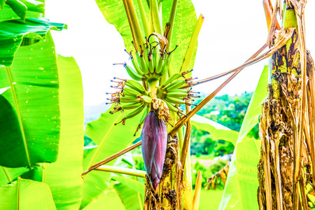 Banana blossom and fruit in country, Thailand. Imagens - 59812766