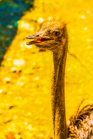 head shot: Head shot of Common Ostrich, Thailand. Stock Photo