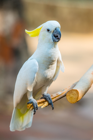 maccaw: Portrait of Yellow-crested Cockatoo, Thailand