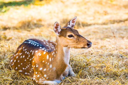Portrait of Spotted Deer, Thailand Stock Photo