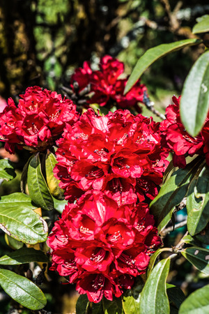 Rhododendron arboreum flower at Doi Inthanon national park, Thailand