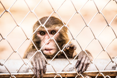 cage gorilla: Pigtail Macaque monkey in cage for conservation Stock Photo