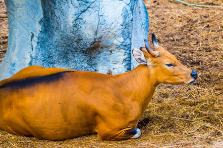 Portrait of Banteng, Thailand