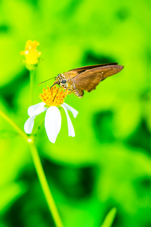 black butterfly: Black butterfly on flower in the garden, Thailand Stock Photo