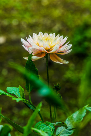 Close Up of White Dhalia Flower, Thailand. Stock Photo