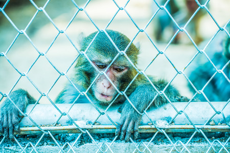 Pigtail Macaque monkey in cage for conservation Stock Photo