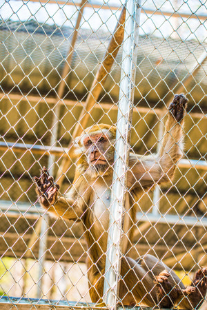 detain: Rhesus Macaque in Cage for Conservation, Thailand Stock Photo