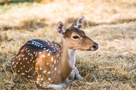 whitetailed: Portrait of Spotted Deer, Thailand Stock Photo