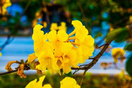 dwarf: Dwarf Golden Trumpet flower in Thai, Thailand Stock Photo