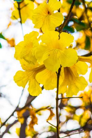 enano: flor de trompeta de oro enano en Tailandia, Tailandia