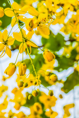 Golden Shower Flowers on Tree, Thailand