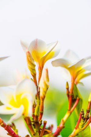 Close up of white Frangipani flowers, Thailand