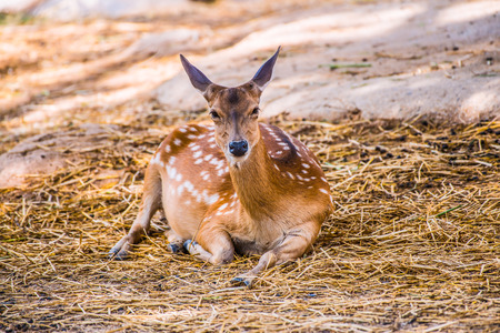 deer  spot: Portrait of Spotted Deer, Thailand Stock Photo