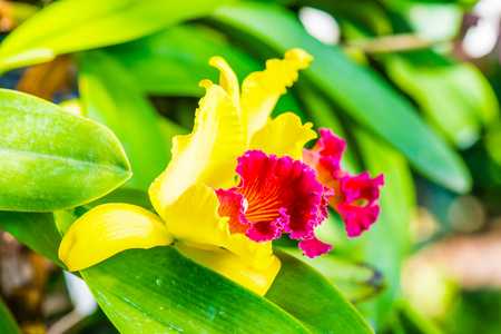 Close Up of Cattleya Orchid, Thailand