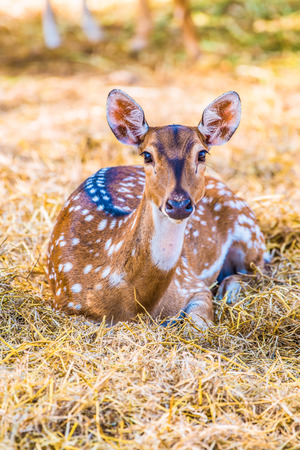 deer spot: Portrait of Spotted Deer, Thailand Stock Photo