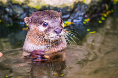 small clawed: Portrait of Small-Clawed Otter, Thailand Stock Photo