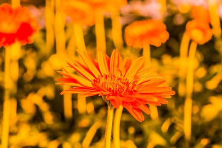 Gerbera flower in the garden, Thailand.