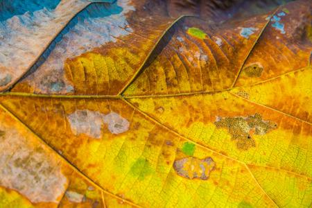 Close up of teak leaf, Thailand