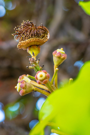 cannonball: Cannonball Flower or Sal Flower in Thai, Thailand