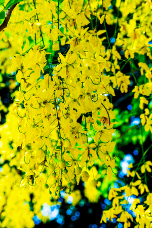 fistula: Golden Shower Flowers on Tree, Thailand