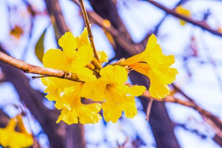 Dwarf Golden Trumpet flower in Thai, Thailand Stock Photo