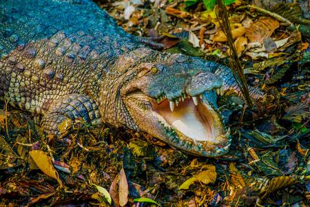 Freshwater Crocodile or Siamese Crocodile, Thailand Stock Photo