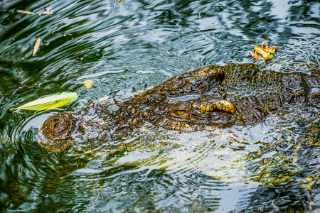 Freshwater Crocodile or Siamese Crocodile, Thailand Stock Photo