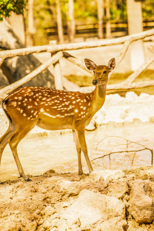 spotted: Portrait of Spotted Deer, Thailand Stock Photo