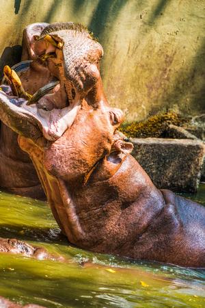 hippopotamus: Hippopotamus en el agua, Tailandia
