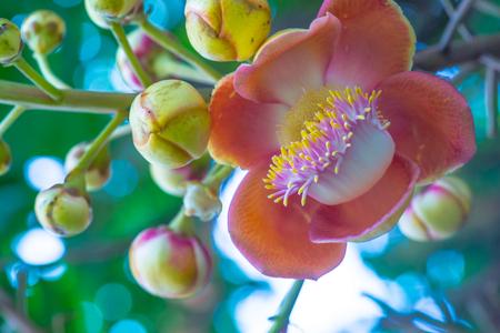 Cannonball Flower or Sal Flower in Thai, Thailand