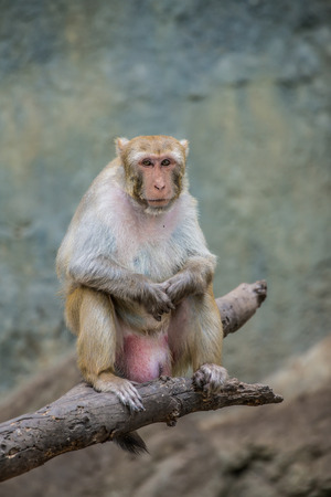 Portrait of Rhesus Macaque, Thailand