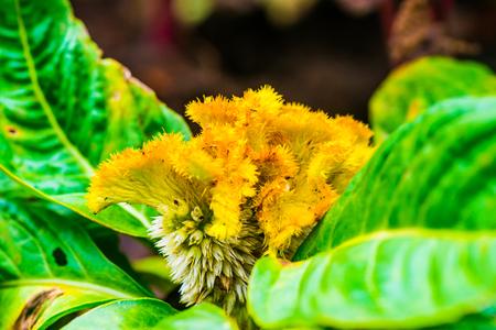cockscomb: Close Up of Cockscomb Flower, Thailand. Stock Photo