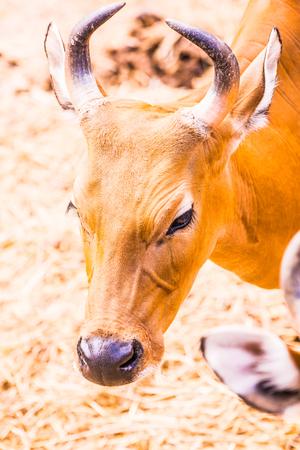 Head Shot of Banteng, Thailand